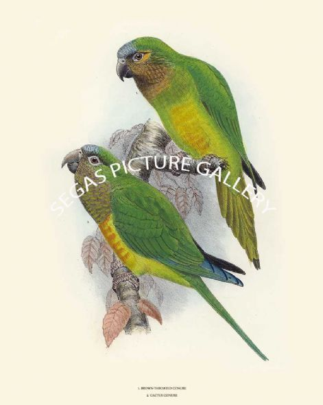 Fine art print of Brown Throated Conure & Cactus Conure by David Seth Smith
